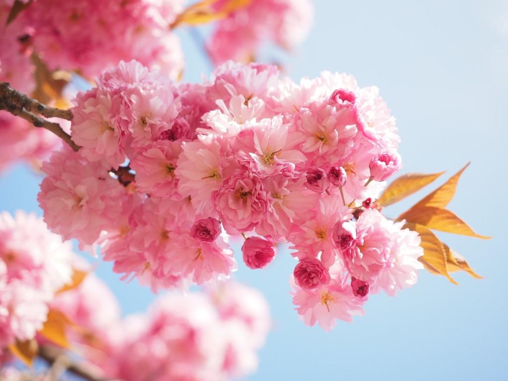 cherry-blossom-1260704_1920