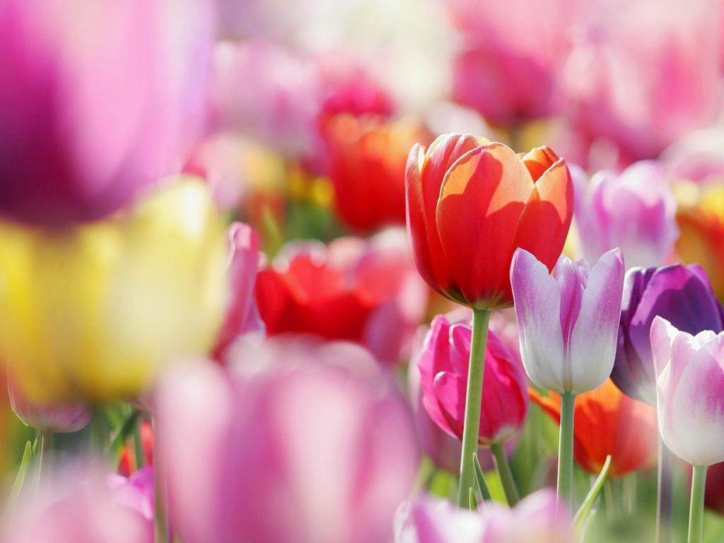 nature-buds-tulips-flowers-spring-flower-hd-wallpapers